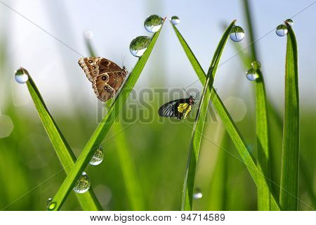 dew drops and butterflies