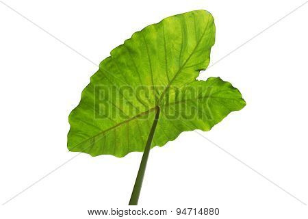 Green tropical leaf background - Giant Upright Elephant Ear close-up