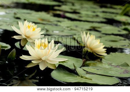Yellow Lotus Flowers And  Lotus Flower Plants