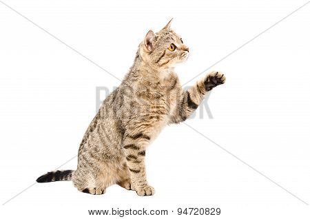 Playful cat Scottish Straight sitting with raised paw