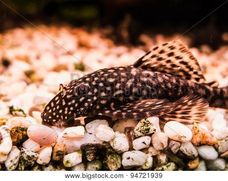 Female Ancistrus (Bristle-nose Catfish)