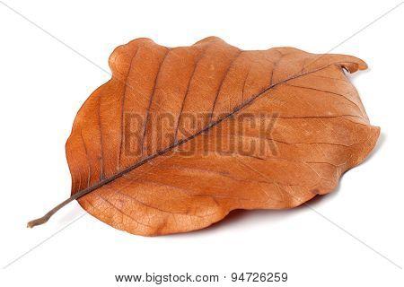 Dry Autumn Leaf Of Magnolia On White Background