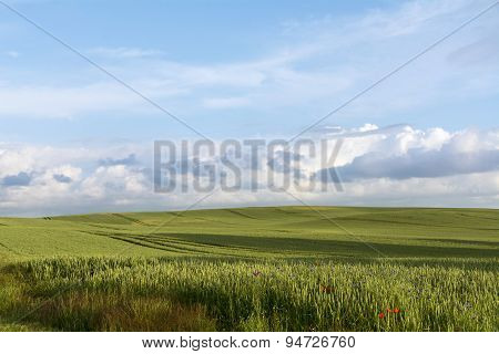 Wide Field With Green Wheat Against The Blue Sky With Clouds