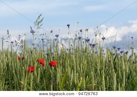 Cornflowers And Poppies In A Wheat Field Against The Blue Sky