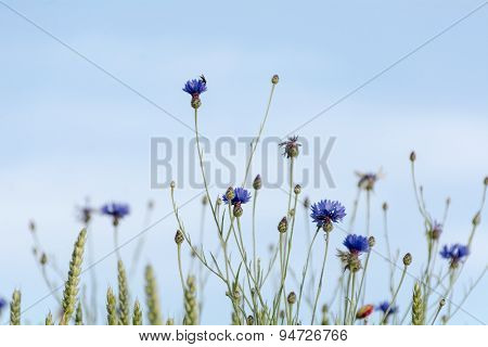 Cornflowers Against The Blue Sky