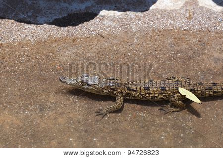 Baby Of A Nile Crocodile