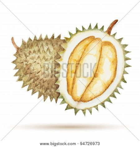 Durian  Hand Drawn Watercolor