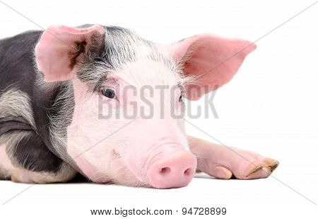 Portrait of the cute pig