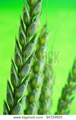 An Unripe Ear Of Wheat In Close Up