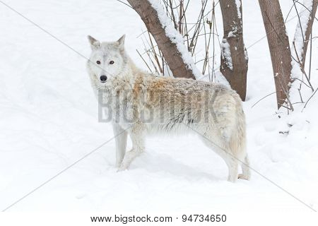 Wolf Winter On Nature