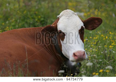 Cow Grazing In The Meadow In The Mountains 3