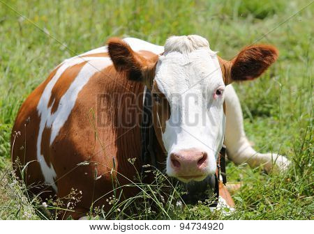 Cow Grazing In The Meadow In The Mountains
