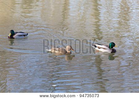 Ducks In A Pond In Park