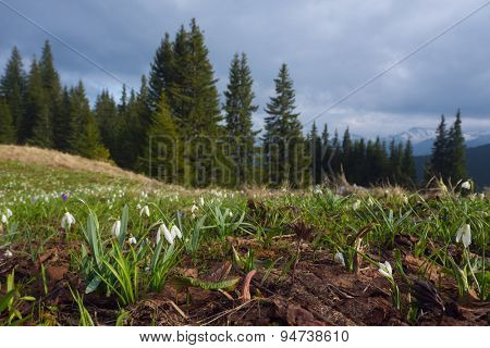 Mountain landscape in early spring. Glade with white snowdrops. The first flowers in April. Carpathian Mountains, Ukraine