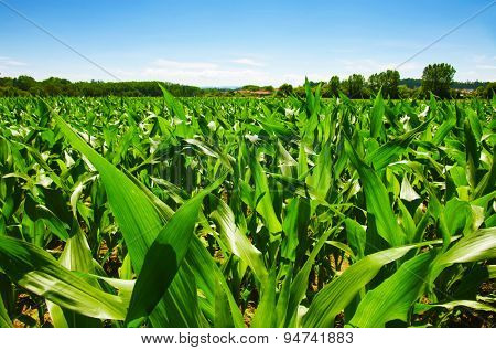 Green field of young corn under a blue sunny sky