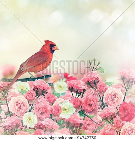 Red Cardinal Bird Perches In Rose Garden