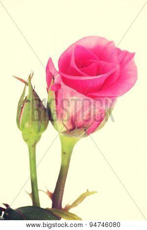 Pink rose on a long stalk