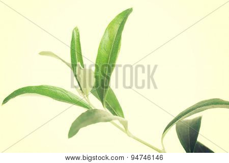 Collecton of leaves of green tea