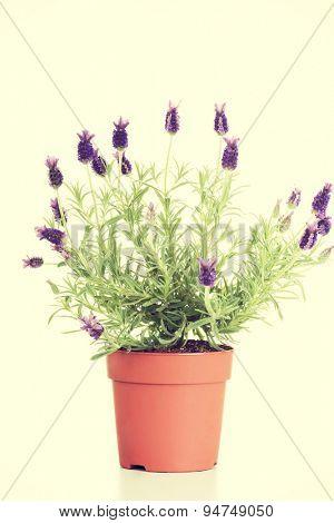 Beautiful lawender flower in a pot