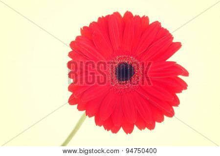 Beautiful close up on a gerber flower