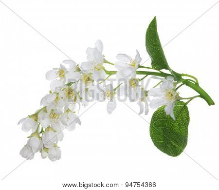bird cherry tree branch with flowers isolated on white background