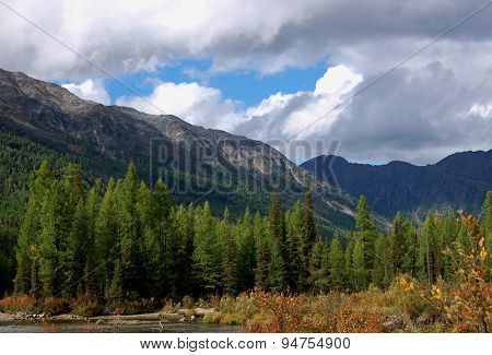 Larch forest on the shore of the mountain river.