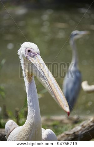 Portrait of white pelican with heron in the out-of-focus background