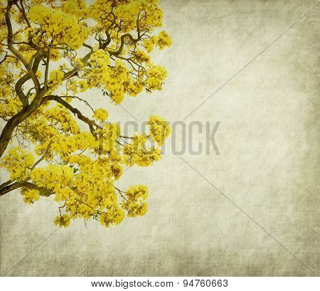 Tabebuia chrysotricha yellow flowers blossom in spring on old paper background