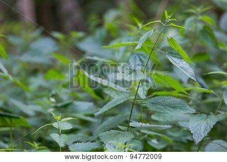 Wild Nettle Growing In Forest