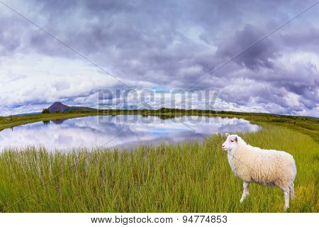 White Icelandic sheep grazing in the meadow. Summer Iceland. Small lake surrounded by green fields