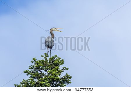 Perched Heron Opens Beak.