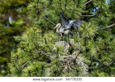 Heron Flaps Wings Over Nest.