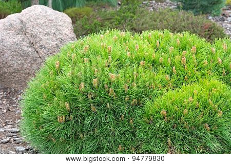 Dwarf Pine. Landscaping Element.