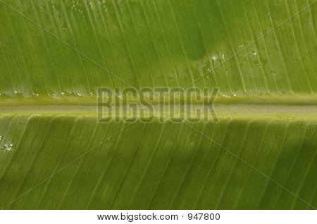 Banana Palm Under Water