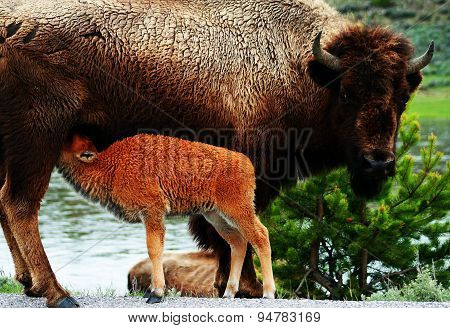 Buffalo feeding calf