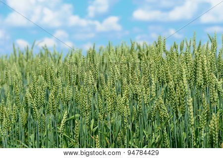Organic Green Wheat In The Field
