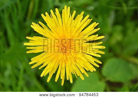Big Dandelion Flower. Picture Can Be Used As A Wallpaper