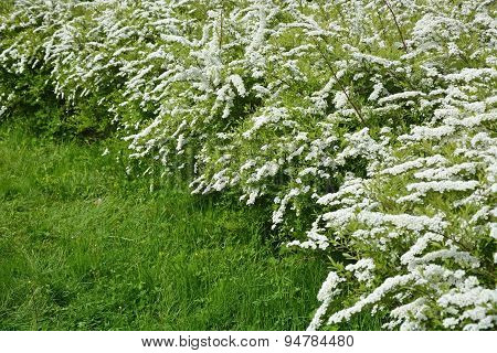 White Spirea At The Sunny Day. Spring Season