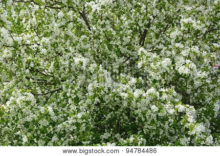 Blooming Apple Tree At The Park. Spring Season Scene