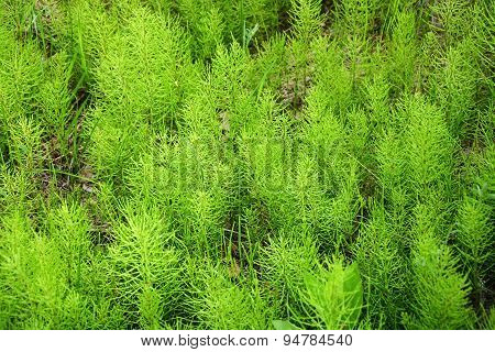 Ancient Plant As A Background At Spring Season, Called Horsetail
