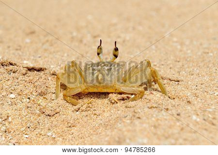 Marine Crab On Beach