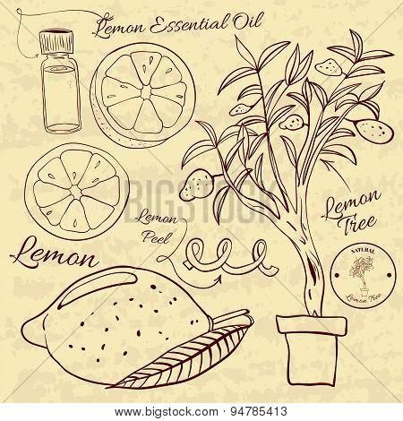 Hand drawn illustration of a lemon set. Web Elements