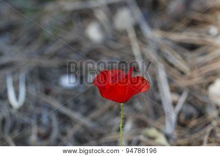 Wild poppy flower.