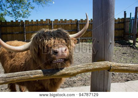 Big Bull Horns