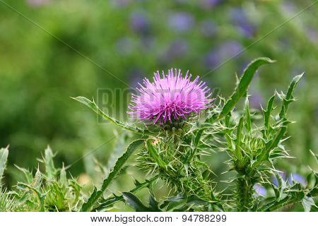 Thistle Flower (silybum Marianum)