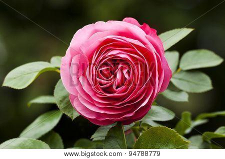 closeup of a beautiful pink rose on a rosebush