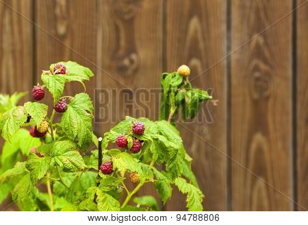 Raspberry bush in front of wooden wall, selective focus, copy space