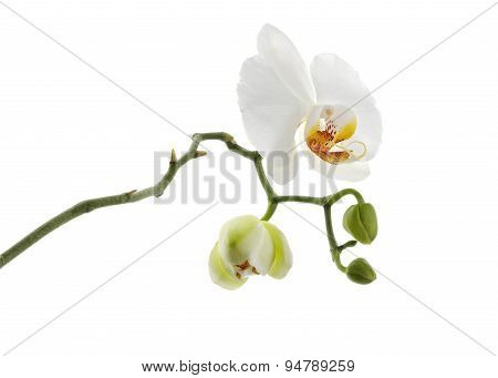 white orchid flower isolated