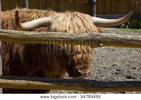 Bull With Horns On Fence