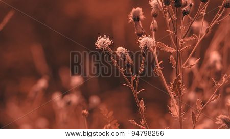 Copper Colorized Infrared Canada Thistle.